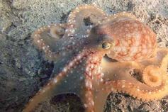 Un pulpo que se acercó al ROV y que jugueteó un rato con la cámara / An octopus playing with the camera next to the ROV ©ICM-CSIC