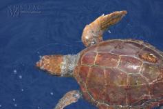 Tortuga boba juvenil (Caretta caretta) ©SECAC