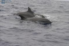 Grupo de delfines mulares (Tursiops truncatus) avistados el 09/09/2011 © SECAC