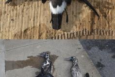 Alcatraces (M. bassanus) y paíño común (H. pelagicus) recogidos en el puerto ©SECAC