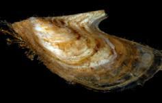 Pajarita / Wing-oyster (Pteria hirundo) ©Pablo J. López González/ICM-CSIC