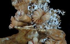 Colonia de corales / Corals colony ©Pablo J. López González/ICM-CSIC