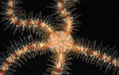 Ofiura / Common brittle star (Ophiotrix fragilis) ©Pablo J. López González/ICM-CSIC