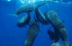 Calderones comunes / Long-finned pilot whales (Globicephala melas) ©ALNITAK
