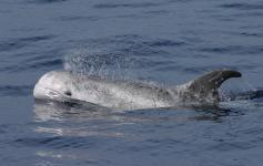 Calderón gris / Risso´s dolphin (Grampus griseus) ©SECAC