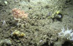 Campo de corales/Hábitat 1170 ©IEO