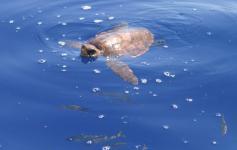 Tortuga boba / Loggerhead sea turtle (Caretta caretta) ©SECAC