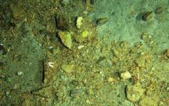 Costras con fragmentos de corales y moluscos con decápodos que buscan cobijo bajo los fragmentos de roca ©IEO