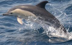 Delfin común / Common dolphin (Delphinus delphis) ©CIRCE