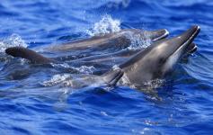Delfines de dientes rugosos / Rough-toothed dolphins (Steno bredanensis) ©SECAC