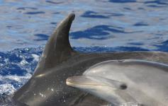 Delfín mular / Bottlenose dolphin (Tursiops truncatus) ©SECAC