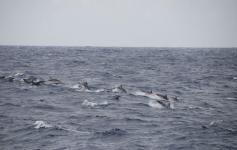 Delfines listados / Striped dolphins (Stenella coeruleoalba) ©CEMMA