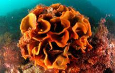 Briozoo / Bryozoan (Pentapora foliacea) ©OCEANA/Enrique Talledo