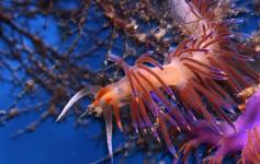 Nudibranquio / Nudibranch (Cratena peregrina) ©OCEANA/Carlos Suarez