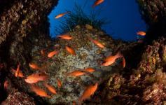 Grupo de cardenales /Group of cardinal fishes (Apogon imbertis) ©OCEANA/Carlos Suarez