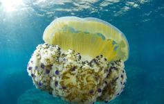 Aguacuajada / Jellyfish (Cotylorhiza tuberculata) ©OCEANA/Iñaki Relanzón