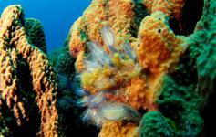 Esponjas / Sponges (Ircinia fasciculata) y Ascidias / Tunicates (Calvellina dellavallei) ©OCEANA/Juan Cuetos