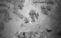 En fondos mixtos, los restos de chimeneas y enlosados ofrecen el substrato necesario para el establecimiento de colonias del coral negro Leiopathes glaberrima (flecha), los cuales están bien representados en la zona de estudio. Se observa la presencia de