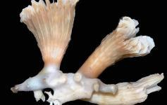 Coral solitario (Desmophyllum cristagalli) es una especie frecuentemente asociada a corales coloniales ©Álvaro Altuna/ECOMARG-IEO