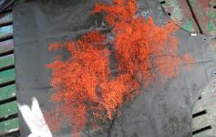 Bella colonia del coral negro (Leiopathes sp.) ©Alberto Serrano/ECOMARG-IEO