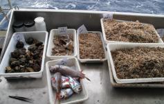 Bandejas de muestras obtenidas en los fondos sedimentarios del Banco de Galicia ©Alberto Serrano/ECOMARG-IEO