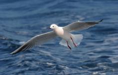 Gaviota picofina / Slender-billed gull (Larus genei) ©José Manuel Arcos/SEO BirdLife