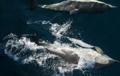 Grupo de delfines (Tursiops truncatus) ©CEMMA
