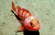 Gallineta / Blackbelly rosefish (Helicolenus dactylopterus) ©ECOMARG-IEO
