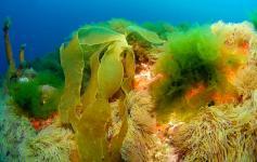Laminaria bulbosa / Furbelows (Saccorhiza polyschides) y Anémonas comunes / Snakelocks anemone (Anemonia sulcata) ©OCEANA/Juan Cuetos