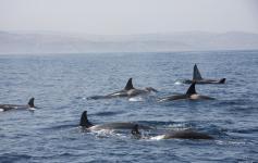 Familia de orcas / Orca's Family (Orcinus orca) ©CIRCE