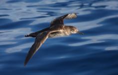 Pardela balear / Balearic shearwater (Puffinus mauretanicus) ©Beneharo Rodríguez/SEO BirdLife