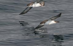 Pardelas mediterráneas / Levantine Shearwaters (Puffinus yelkouan) ©José Manuel Arcos/SEO BirdLife
