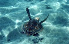 Tortuga boba / Loggerhead sea turtle (Caretta caretta) ©Ramn Noguera/WWF España