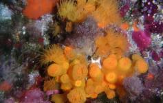 Coral estrellado / Star coral (Astroides calycularis) ©Reservas Marinas/SGM