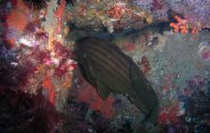 Falso abadejo / Goldblotch grouper (Epinephelus costae) ©Reservas Marinas/SGM