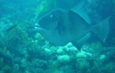 Pez ballesta / Grey triggerfish (Balistes carolinensis) ©Reservas Marinas/SGM