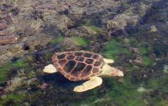 Tortuga boba / Loggerhead sea turtle (Caretta caretta) ©Reservas Marinas/SGM