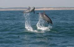 Delfín mular / Bottlenose dolphin (Tursiops truncatus) ©CIRCE